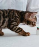 vacunar gato